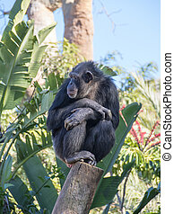 Chimpanzee in Fuengirola Biopark - Chimpanzee sits on tree...
