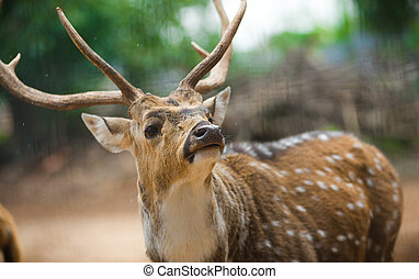 Indian deer close up portrait