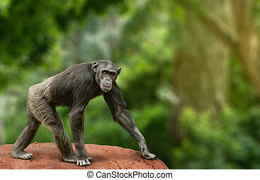 Chimpanzee walking - Ape chimpanzee female looking at...