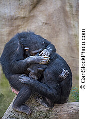 Chimpanzees in Fuengirola Biopark - Chimpanzees sit on tree...