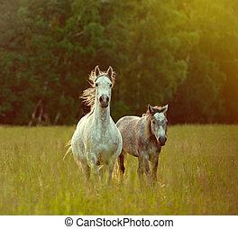 árabe, caballos
