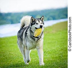 malamute bringing frisbie disk