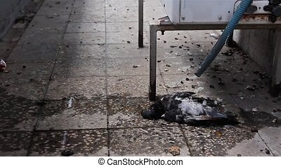 Polluted dead pigeon - Water is dripping from air...