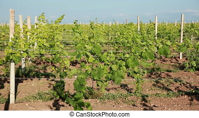 Trellis Vineyard - Trellis Of Young Vineyard
