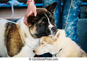 ülés, kutya, együtt, fiatal,  akita, amerikai, héjas, eszkimó, kutyus