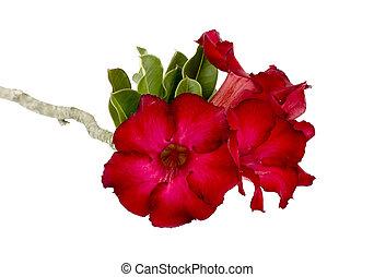 rosa, fiore, Deserto, isolamento