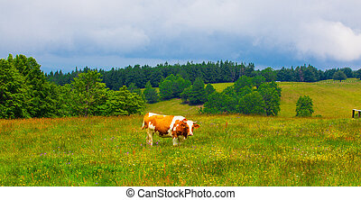 Cows grazing in Semenic Mountains