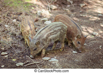 little wild boars in the forest