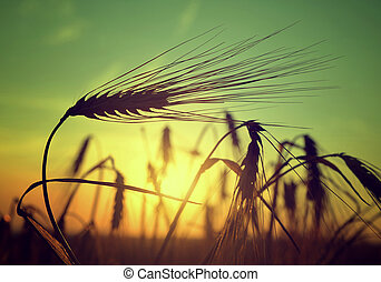 barley field in sunset - silhouette of a barley field in...