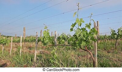 Vineyard. - Young vineyard has planted in parallel rows at...