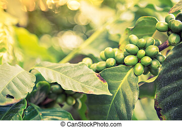 Coffee beans on the branch ( Filtered image processed...
