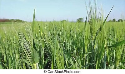 Barley field of green wheat close u - Barley spikelet on the...