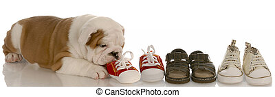 english bulldog puppy chewing line of shoes - seven weeks old