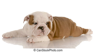seven week old red and white english bulldog puppy laying down with reflection on white background