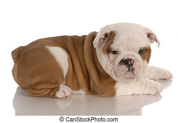 red and white eight week old english bulldog puppy with reflection on white background