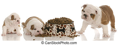 stages of puppy growth - english bulldog three, five and...