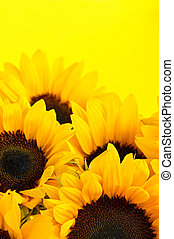 Sunflowers - Bouquet of sunflower flowers on yellow...