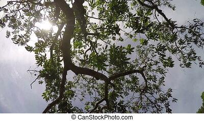 Mango fruit tree fish eye lens - Bottom up Mango fruit tree...