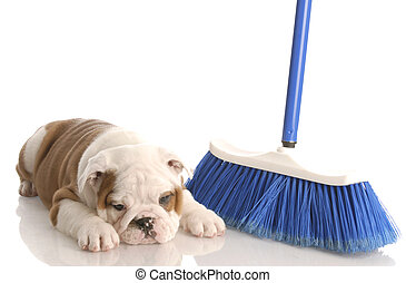 messy dog - english bulldog puppy laying beside a blue broom