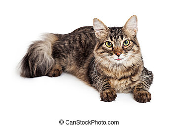 Attentive Maine Coon Tabby Cat Laying
