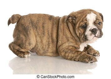 eight week old red brindle english bulldog puppy playing