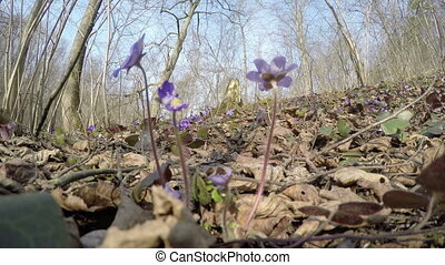 liverworts flowers forest - Beautiful springtime liverworts...