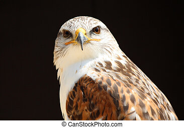 close up eagle  - close portrait of a eagle
