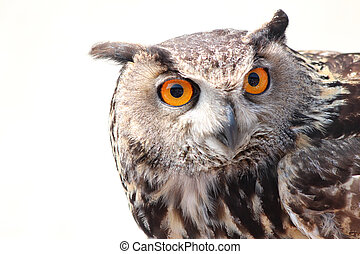 close up owl  - close up portrait of a owl