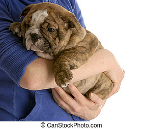 person holding on to english bulldog puppy on white background