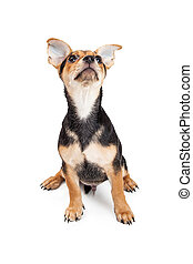 Chihuahua Mixed Breed Three Month Old Puppy Looking At Sky -...
