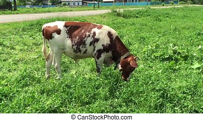 Farm cow grazing in a green field