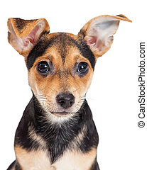 Closeup of Chihuahua Mixed Breed Three Month Old Puppy Large...