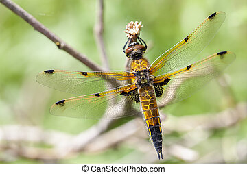 Four-spotted Chaser - macro - Four-spotted Chaser -...