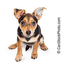 Curious Chihuahua Mixed Breed Three Month Old Puppy Sitting...