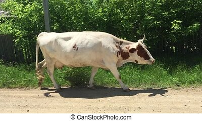 Cow walking along the road in the pasture