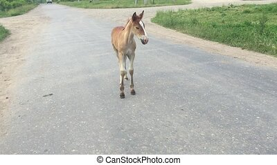 Young foal walking on the asphalt road