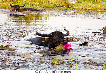 Thai water buffalo cooling during the day - Herd of Thai...