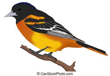 Baltimore Oriole - Icterus galbula - male