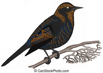 Rusty Blackbird - Euphagus carolinus - male in fall