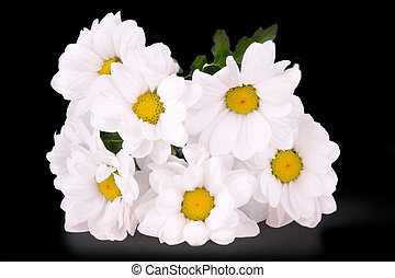 white daisy isolated on a black background