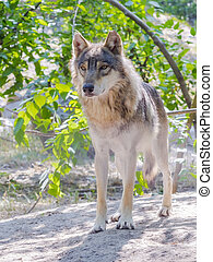 European gray wolf (Canis lupus)