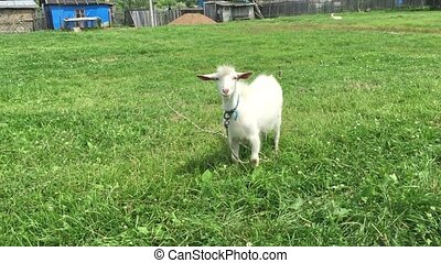 Goat with a beard grazes on a rope