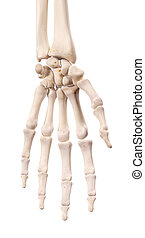 The hand bones - medically accurate illustration of the hand...