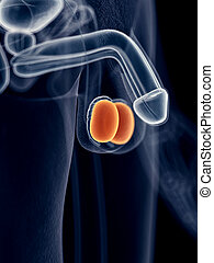 The testicles - medically accurate illustration of the...