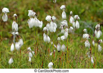 Common Cotton Grass - Eriophorum angustifolium