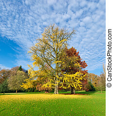 ginkgo tree or japanes walnut tree in yellow autumn colors