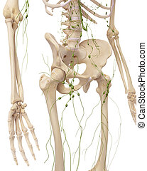 The inguinal lymph nodes - medically accurate illustration...
