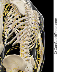 The back nerves - medically accurate illustration of the...
