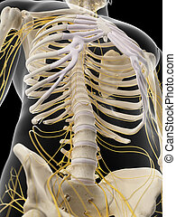 The abdominal nerves - medically accurate illustration of...
