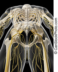 The pelvic nerves - medically accurate illustration of the...